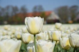 Tulpenroute Flevoland staat stil bij 75 jaar vrijheid