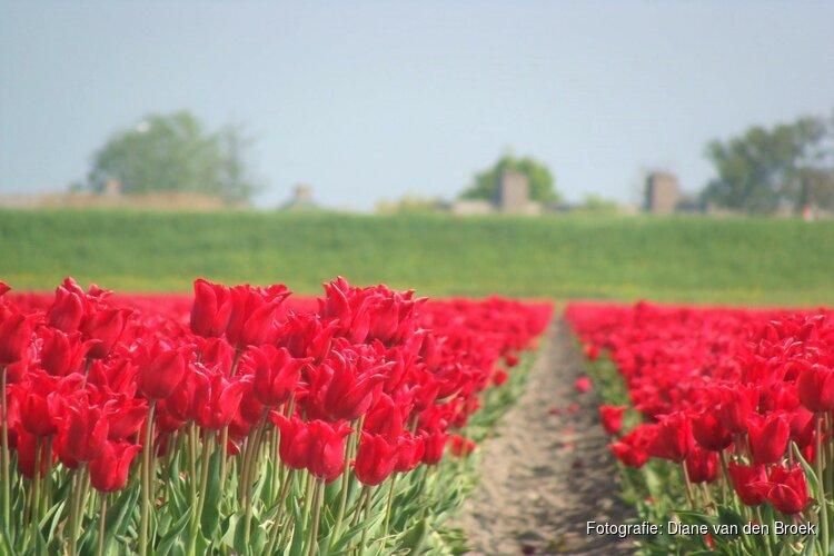 Tulpenroute Flevoland 2020 gaat niet door